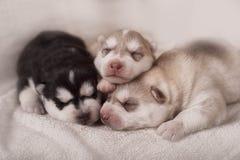 Newborn siberian husky puppies Royalty Free Stock Photography