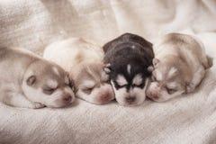 Newborn siberian husky puppies Stock Image