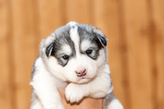 Newborn Siberian Husky Stock Photo