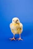 Newborn small chicken on blue Royalty Free Stock Photo