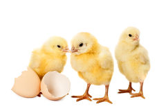 Newborn small chicken on white Royalty Free Stock Images