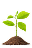 Newborn small green plant. Isolated on wihte Stock Photos