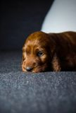 Newborn small puppy of  irish setter Royalty Free Stock Photo