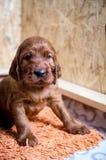 Newborn small puppy of  irish setter Royalty Free Stock Image