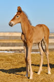 Newborn Sorrel foal - only 5 days. Newborn Sorrel foal walks in a shelter Stock Photography