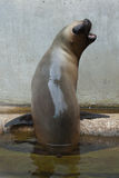 Newborn South American sea lion Otaria flavescens Stock Photos