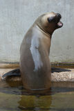 Newborn South American sea lion Otaria flavescens Royalty Free Stock Photo
