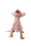 Newborn sphinx kitten. Walking on white background Stock Images