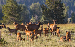 Newborn spotted elk calves and mothers Stock Photography