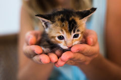 A newborn spotted kitten sitting in the palm of hands. Stock Photo