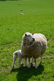 Newborn Spring lamb with its Mother. Stock Photo