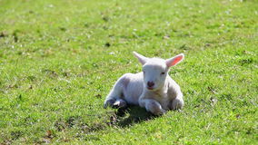 Newborn Spring lamb. Laying down stock video