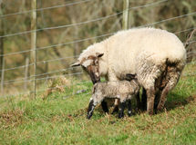 Newborn spring lamb with mother. Newborn spring lamb feeding from his mother stock image