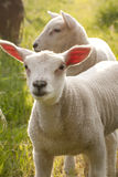 Newborn Spring Lamb sheep Stock Image