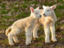 Newborn Spring Lambs Basking in the Sun. View of Newborn Spring Lambs Basking in the Early Morning Sunshine royalty free stock images