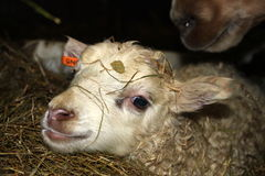 Newborn in straw. First minutes of newborn sheep in Islandic farm Royalty Free Stock Photos