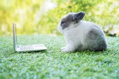 Free Newborn Tiny Grey White Bunny With Small Laptop Sitting On The Green Grass. Lovely Baby Rabbit Looking At Notebook On Lawn Natural Stock Images - 214828834