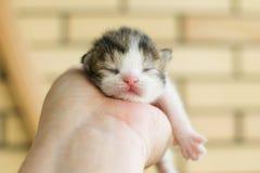 Newborn tricolor kitten Stock Photos