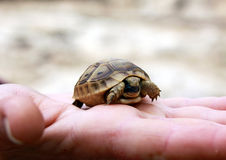 Newborn turtle Royalty Free Stock Photography