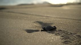 Turtle sanctuary. Newborn turtle run on sand to the seaside, close-up turtle and trail on sand, turtle  sanctuary hatchery located on the beach stock footage