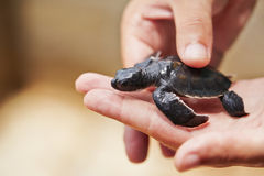 Newborn of turtle Stock Photography