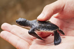 Newborn of turtle Stock Photo