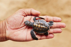 Newborn of turtle Royalty Free Stock Photo