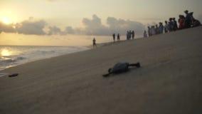 Turtle sanctuary. Newborn turtles run on seaside , close-up turtle and defocus peoples on background , turtle  sanctuary hatchery located on the beach stock video