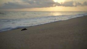 Turtle sanctuary. Newborn turtles run to the sea wave , close-up turtle, turtle  sanctuary hatchery located on the beach stock footage