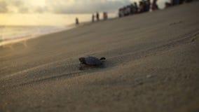 Turtle sanctuary. Newborn turtles walking on seaside , close-up turtle and defocus peoples on background , turtle  sanctuary hatchery located on the beach stock footage