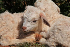 Newborn Twin Goats Royalty Free Stock Photos
