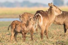 Newborn waterbuck Stock Photography