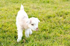 Newborn white baby kid goat pygmy goat in grass field stock photography