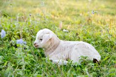 Newborn white baby kid goat pygmy goat laying down resting in gr Royalty Free Stock Photography