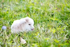 Newborn white baby kid goat pygmy goat laying down resting in gr Royalty Free Stock Images