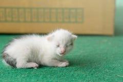 Newborn white and gray kitten on a green carpet. White cat newborn.  royalty free stock photo