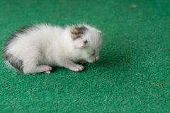 Newborn white and gray kitten on a green carpet. White cat newborn.  royalty free stock photos