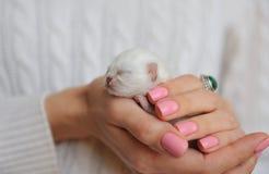 Newborn white kitten Royalty Free Stock Image