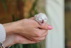Newborn white kitten in   hands Royalty Free Stock Photo