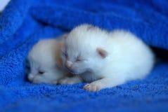 Newborn white kittens Royalty Free Stock Images