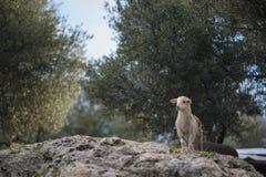 Newborn White Lamb Surveys royalty free stock photo
