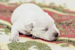 Newborn white puppy close-up. White blind puppy lying on the Mat