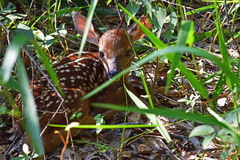 Newborn White-Tailed Deer Fawn. A newborn, White-Tailed Deer fawn, hidden in high grass Royalty Free Stock Image