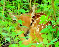 Newborn Whitetail Deer Fawn Stock Images