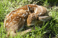 Newborn whitetail fawn Royalty Free Stock Photography