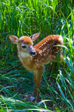 Bambi. A newborn whitetail fawn in tall grass in the spring Stock Photography