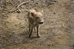 Newborn wild pig Royalty Free Stock Photos