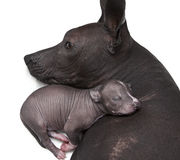 Newborn xoloitzcuintle puppy with his mother. One week old xoloitzcuintle puppy with his mother Stock Images