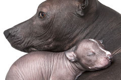 Newborn xoloitzcuintle puppy with mother. One week old xoloitzcuintle puppy with mother Royalty Free Stock Photography