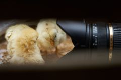 Newborn yellow baby chicks brood in a wooden box. Cute little broiler chickens  eats grain, close-up. Farming concept stock images